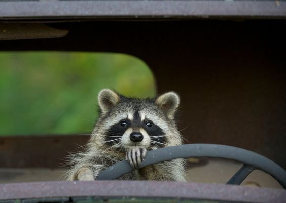 Raccoon_driving.jpg